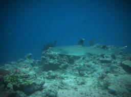 Sipadan (ou plonger avec les requins)
