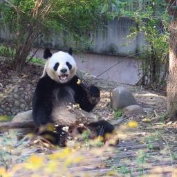Frontière du TIBET et PANDAS à Chengdu !
